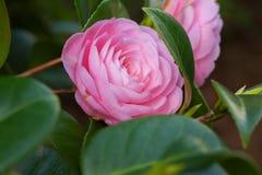 与绿色叶子的桃红色山茶花sasanqua花 免版税库存图片