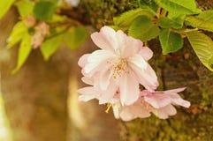 与绿色叶子的桃红色樱桃花 春天开花 免版税库存照片