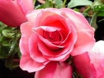 与绿色叶子的桃红色玫瑰 免版税库存照片