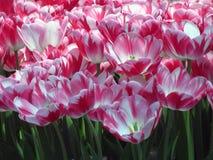 与绿色叶子的桃红色白色颜色郁金香 库存图片