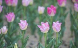 与绿色叶子的桃红色郁金香 免版税库存图片