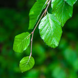 与绿色叶子的桤木分支 免版税库存图片