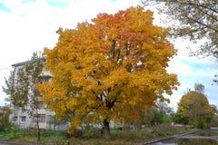 与黄色叶子的槭树 库存图片