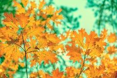 与黄色叶子的橡木分支 图库摄影