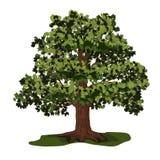 与绿色叶子的橡树 库存照片