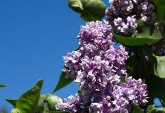 与绿色叶子的淡紫色花在晴朗的春日 库存照片