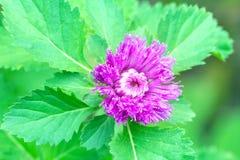 与绿色叶子的特写镜头紫罗兰色花 免版税库存图片