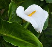 与绿色叶子的白色水芋百合 库存图片