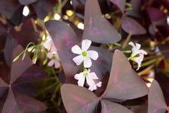 与紫色叶子的白花 免版税图库摄影