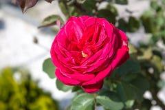 与绿色叶子的红色玫瑰在背景中 免版税图库摄影