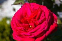 与绿色叶子的红色玫瑰在背景中 库存图片