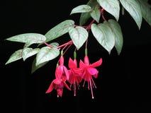 与绿色叶子的红色花在黑背景 库存照片