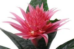 与绿色叶子的美丽的多刺的桃红色花 免版税库存照片