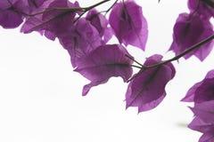 与紫色叶子的背景 免版税图库摄影