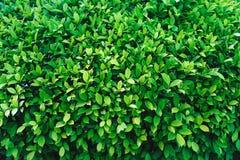 与绿色叶子的自然灌木 图库摄影