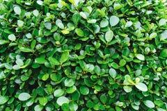 与绿色叶子的自然灌木 免版税库存图片