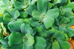 与绿色叶子的自然灌木 免版税图库摄影