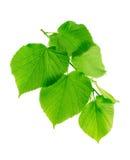 与年轻绿色叶子的菩提树分支 库存照片