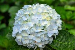 与绿色叶子的蓝色八仙花属花 免版税库存图片