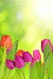与绿色叶子的满地露水的郁金香 免版税库存图片