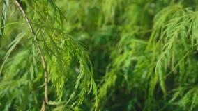 与绿色叶子的黄杨木潜叶虫` s 股票录像