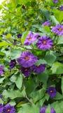与绿色叶子的紫罗兰色花 库存图片