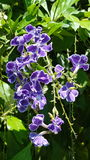 与绿色叶子的紫色开花的花 库存照片