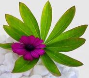 与绿色叶子的紫色海角延命菊雏菊花 库存图片
