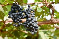 与绿色叶子的紫色红葡萄在藤 库存照片