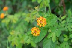 与绿色叶子的黄色花 免版税库存照片