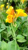与绿色叶子的黄色花 库存照片
