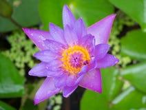 与绿色叶子的紫色莲花 免版税图库摄影