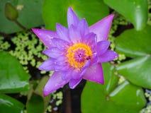 与绿色叶子的紫色莲花 免版税库存图片