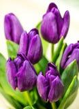 与绿色叶子的紫色郁金香在乳脂状的背景 库存照片