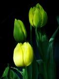 与绿色叶子的黄色颜色郁金香 免版税图库摄影