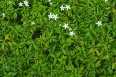 与绿色叶子的Inda花 库存图片