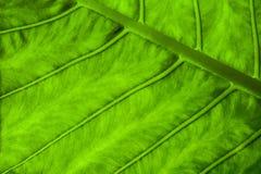 与绿色叶子纹理的自然抽象背景 免版税库存图片