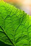 与绿色叶子表面的宏观照片 免版税库存图片