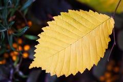 与黄色叶子,选择聚焦的秋天背景 您的文本的地方,用途 免版税库存图片