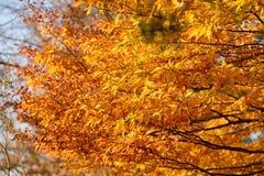 与黄色和桔子叶子的分支 库存图片