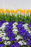 与紫色和白色蝴蝶花落下的行的黄色郁金香  免版税库存照片