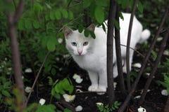 与绿色和蓝眼睛的白色猫 库存照片