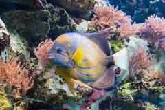 与黄色和蓝色条纹的五颜六色的热带密林鱼 免版税库存图片