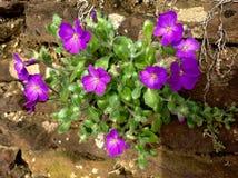 与绿色和年轻叶子的紫色花在庭院里 库存照片