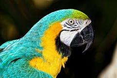 与黄色和绿松石全身羽毛的鹦鹉 免版税库存照片