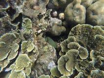 与绿色和黄色珊瑚和镶边鱼掩藏的水下的风景 图库摄影