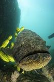 与黄色咕噜声的好奇石斑鱼 库存照片