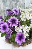 与紫色喇叭花和白花的Coconat垂悬的篮子 库存照片