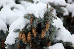 与绿色圣诞节杉树的冬天背景 免版税库存照片