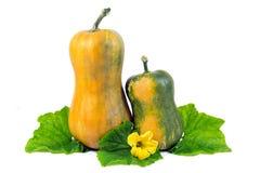 与绿色在白色隔绝的叶子和黄色花的两个黄色南瓜 免版税图库摄影